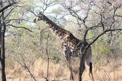 Il lanscape e la fauna selvatica del Sudafrica a kruger parcheggiano la giraffa Immagini Stock Libere da Diritti