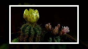 Il lasso di tempo dell'apertura e del cactus di chiusura fiorisce stock footage