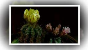 Il lasso di tempo dell'apertura e del cactus di chiusura fiorisce archivi video