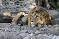 Il Lat africano del leone La panthera Leo riposa all'ombra di un albero Il re delle bestie sta riposando I leoni maschii hanno un fotografie stock