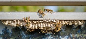 Il lat della vespa comune La vespula vulgaris è specie di imenotteri Crea alcune di più grandi colonie delle vespe reali fotografie stock