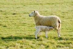 Il lattante dell'agnello con è madre immagini stock libere da diritti
