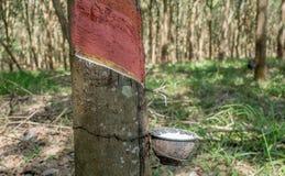 il latte bianco del lattice dalla corteccia di taglio dell'albero di gomma ha raccolto la o Immagine Stock