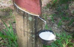 il latte bianco del lattice dalla corteccia di taglio dell'albero di gomma ha raccolto la o Fotografie Stock Libere da Diritti