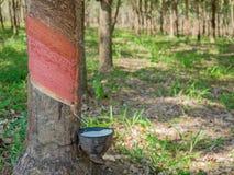 il latte bianco del lattice dalla corteccia di taglio dell'albero di gomma ha raccolto la o Immagini Stock Libere da Diritti