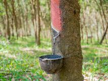 il latte bianco del lattice dalla corteccia di taglio dell'albero di gomma ha raccolto la o Immagine Stock Libera da Diritti