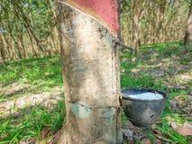 il latte bianco del lattice dalla corteccia di taglio dell'albero di gomma ha raccolto la o Fotografia Stock Libera da Diritti