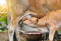 Il latte del lattante del vitello nella mattina, giovane vitello beve il latte dalla sua m. Fotografia Stock