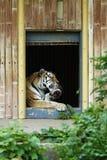 Il lavaggio della tigre lecca Immagine Stock Libera da Diritti