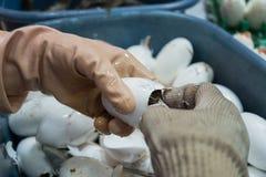 Il lavoratore aiuta il coccodrillo d'acqua dolce del bambino che cova dalle uova Fotografia Stock