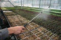 Il lavoratore del giardiniere in serra o la serra che castra le giovani piantine con acqua da spruzza, l'agricoltura industriale Fotografie Stock