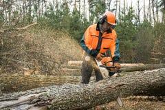 Il lavoratore di silvicoltura con la motosega sta segando un ceppo Processo di loggin Fotografie Stock