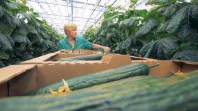 Il lavoratore femminile della pianta sta controllando le piantine per vedere se c'è cetrioli maturi video d archivio