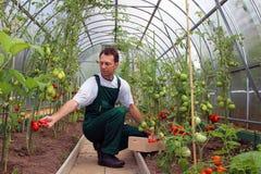 Il lavoratore raccoglie i pomodori nella serra Immagine Stock