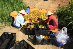 Il lavoratore raccoglie i pomodori nella serra del policarbonato trasparente Fotografia Stock