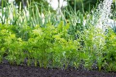Il lavoratore sta innaffiando le piante della carota nel giardino Fotografia Stock