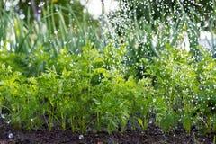 Il lavoratore sta innaffiando le piante della carota nel giardino Immagini Stock