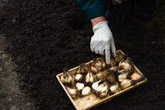 Il lavoratore sta piantando le lampadine del narciso nel suolo nell'aiola Fotografia Stock