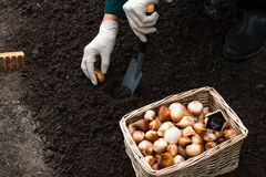 Il lavoratore sta piantando le lampadine del tulipano nel suolo nell'aiola Fotografie Stock Libere da Diritti