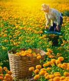 Il lavoratore sta selezionando i fiori del tagete per vendita per fiorire il mercato, AG Immagine Stock