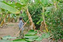 Il lavoratore sta tagliando le foglie della banana Fotografie Stock