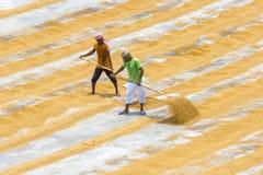Il lavoratore tradizionale della riseria gira la risaia per asciugarsi fotografie stock libere da diritti