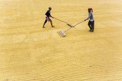 Il lavoratore tradizionale della riseria gira la risaia per asciugarsi immagini stock libere da diritti