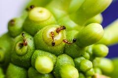 Il lavoro delle formiche sul morinda citrifolia , macro colpo Fotografia Stock