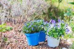 Il lavoro di primavera in giardino domestico, piantante fiorisce Immagine Stock
