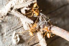 Il lavoro di squadra della formica Fotografie Stock