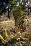 Il lavoro di un raccolto astuto del castoro Fotografia Stock Libera da Diritti