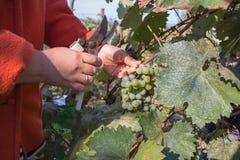 Il lavoro sulle vigne durante la fine del raccolto su del ` s del lavoratore passa il taglio dell'uva bianca dalle viti durante i Fotografia Stock