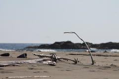 Il legname galleggiante si ramifica spiagge salate della sabbia del fuco Fotografia Stock