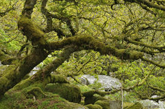 Il legno di Wistman Fotografia Stock