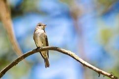 Il Legno-Pewee occidentale si è appollaiato in un albero Fotografia Stock Libera da Diritti