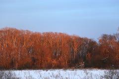 Il legno rosa, il legno in primavera al tramonto nell'ambito dei fasci del sole Fotografie Stock
