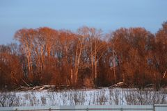 Il legno rosa, il legno in primavera al tramonto nell'ambito dei fasci del sole Fotografie Stock Libere da Diritti