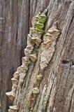 Il legno si espande rapidamente primo piano che cresce sul tronco di albero Fotografia Stock