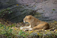 Il leone Fotografia Stock