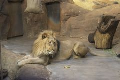 Il leone africano fotografie stock libere da diritti