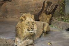 Il leone africano fotografia stock