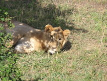 Il leone che si sveglia Immagine Stock
