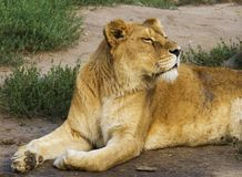 Il leone che si trova sull'erba, testa di giro fino al sole, osserva quasi fotografie stock libere da diritti