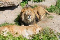 Il leone custodice il sonno di una leonessa fotografia stock