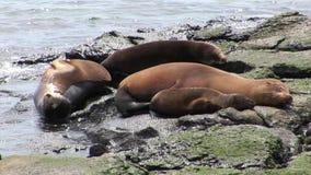 Il leone della guarnizione della famiglia si rilassa sulla spiaggia vicino all'acqua delle isole Galapagos video d archivio