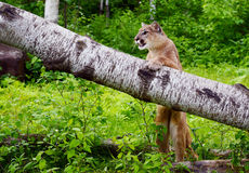 Il leone di montagna sta su un ceppo caduto Fotografia Stock