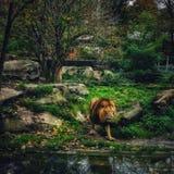 Il leone di re Fotografia Stock