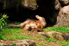 Il leone dorme sull'erba Fotografie Stock Libere da Diritti
