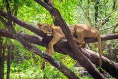 Il leone femminile sta riposando sull'albero immagine stock libera da diritti