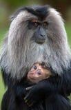 Il leone ha munito il macaque di coda Fotografia Stock